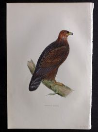 Morris 1897 Antique Hand Col Bird Print. Golden Eagle
